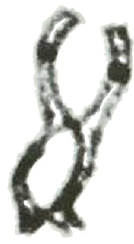 Överkorsning i två eukaryota delningskromosomer