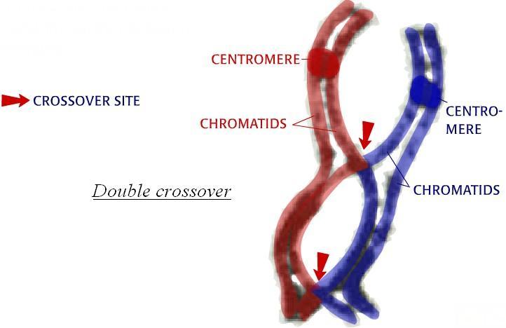 Överkorsning i två eukaryota delningskromosomer (förtydligat).