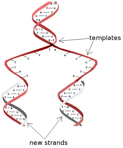 DNA_duplicate